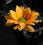 Pomarańczowa chryzantema Obrazy Royalty Free