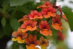 pomarańczowa czerwony kwiat Zdjęcia Stock