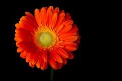 Pomarańczowa gerbera stokrotka na czerni Obrazy Stock
