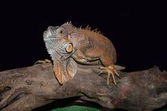 Pomarańczowa iguana Zdjęcia Royalty Free