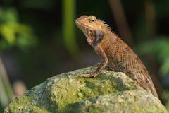 Pomarańczowa jaszczurka Obraz Royalty Free