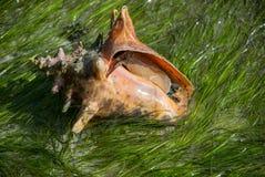 Pomarańczowa koncha na Dennej trawie Obraz Royalty Free
