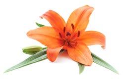 Pomarańczowa leluja Fotografia Royalty Free