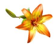 Pomarańczowa Leluja Obraz Stock