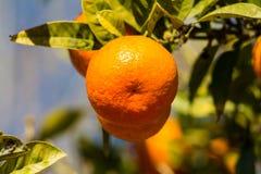 Pomarańczowa mandarynka r na drzewie Fotografia Stock