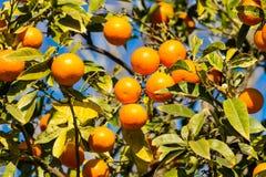 Pomarańczowa mandarynka r na drzewie Obrazy Royalty Free