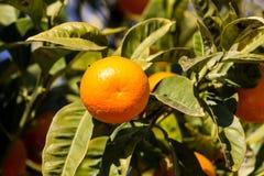 Pomarańczowa mandarynka r na drzewie Zdjęcie Stock