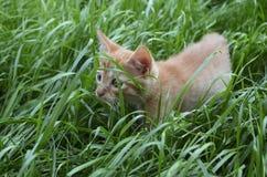Pomarańczowa puszysta figlarka chuje w zielonej trawie na letnim dniu obrazy stock