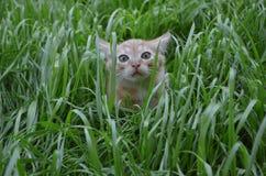 Pomarańczowa puszysta figlarka chuje w zielonej trawie na letnim dniu obrazy royalty free