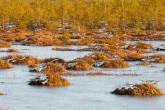 Pomarańczowa trawa na bagnie w zimie Fotografia Royalty Free