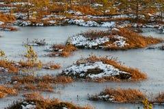Pomarańczowa trawa na bagnie w zimie Zdjęcie Royalty Free