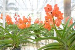Pomarańczowa Vanda orchidea Fotografia Stock