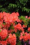 Pomarańczowe azalie fotografia royalty free
