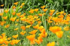 pomarańczowe maku Fotografia Stock