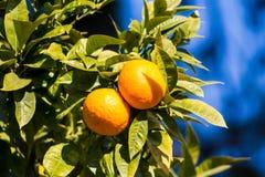 Pomarańczowe mandarynki r na drzewie Obrazy Royalty Free