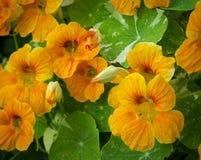 Pomarańczowe nasturcje Fotografia Royalty Free