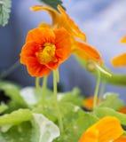 Pomarańczowe nasturcje Fotografia Stock