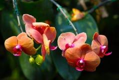 Pomarańczowe orchidee Zdjęcie Stock