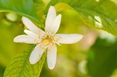Pomarańczowego drzewa kwiat Zdjęcia Royalty Free