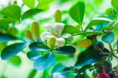 Pomarańczowego jessamine Murraya paniculata biali kwiaty Obraz Royalty Free