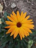 Pomarańczowego nagietka pojedynczy kwiat zdjęcia royalty free