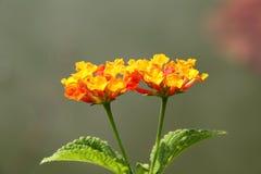 Pomarańczowej czerwieni lantana kwiat Fotografia Stock