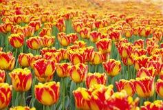 pomarańczowej czerwieni tulipan Zdjęcia Royalty Free