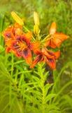 Pomarańczowej lelui Azjatyccy hybrydy, zdjęcia stock
