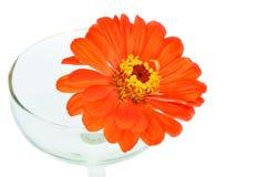Pomarańczowi cynia kwiaty Zdjęcia Stock