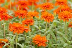 Pomarańczowi cynia kwiaty Fotografia Royalty Free