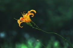 Pomarańczowi Daylily kwiaty Obrazy Stock