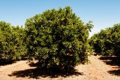 Pomarańczowi drzewa Zdjęcie Royalty Free