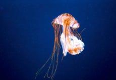 Pomarańczowi jellyfish Obraz Stock