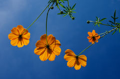 Pomarańczowi kosmosów kwiaty Zdjęcia Stock