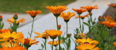 Pomarańczowi kwiaty calendula w ogródzie Zdjęcia Royalty Free