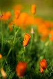 Pomarańczowi maczków kwiaty Obrazy Royalty Free