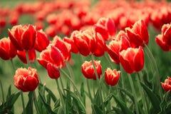 Pomarańczowi tulipanów kwiaty Zdjęcie Stock