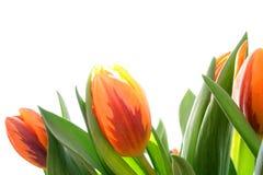pomarańczowi tulipany Zdjęcie Stock
