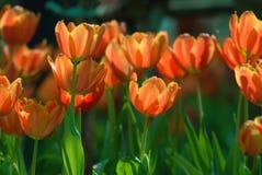 Pomarańczowi tulipany. Zdjęcia Royalty Free