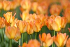 Pomarańczowi tulipany Zdjęcie Royalty Free