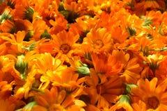 Pomarańczowi valendula kwiaty obrazy stock