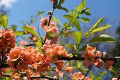 Pomarańczowi wiosna kwiaty Zdjęcie Stock