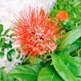 Pomarańczowoczerwoni kwiaty Zdjęcie Stock