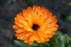Pomarańczowy calendula Zdjęcie Stock