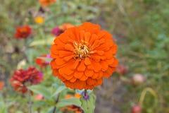 Pomarańczowy cinna r w ogródzie Fotografia Royalty Free