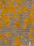 Pomarańczowy Crustose liszaj Obraz Stock