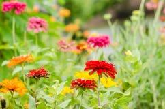 Pomarańczowy cynia kwiat Fotografia Royalty Free