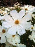 Pomarańczowy cynia kwiat Obrazy Stock