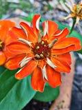 Pomarańczowy cynia kwiat Obrazy Royalty Free