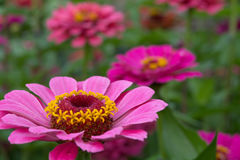 Pomarańczowy cynia kwiat Zdjęcie Royalty Free